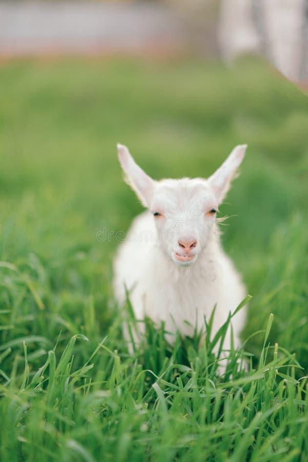 Little white goat royalty free stock photo