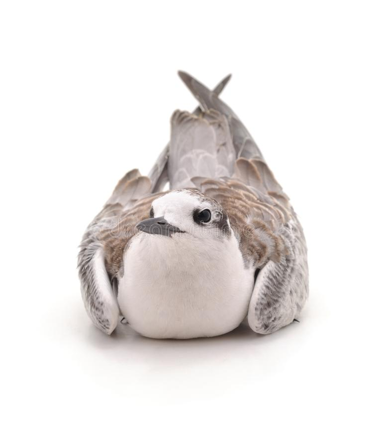 Little white gull. Little white gull on a white background royalty free stock image