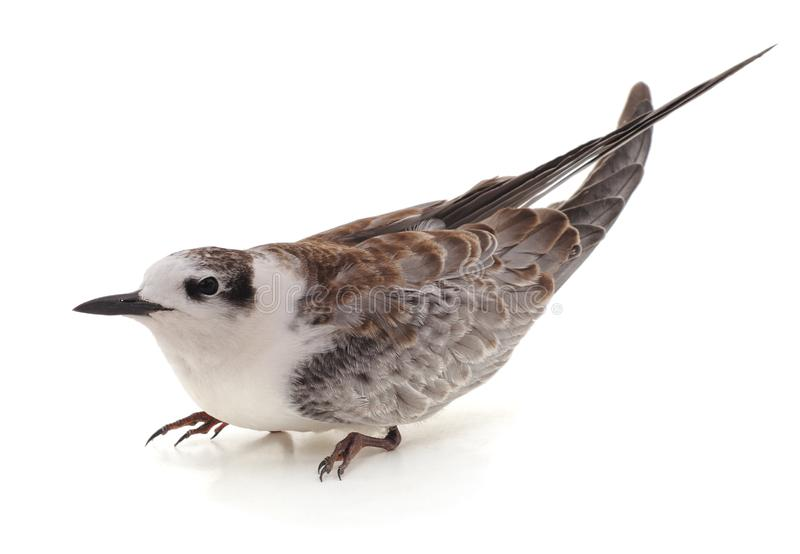 Little white gull. On a white background royalty free stock images