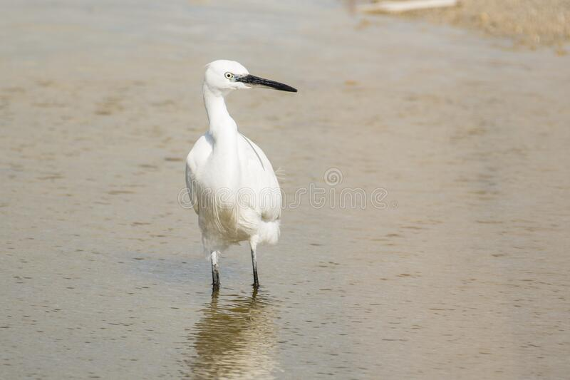 Little white heron stands in shallow water royalty free stock photography