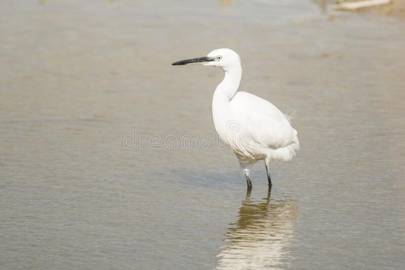 Little white heron stands in shallow water stock image
