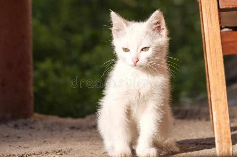 Little white kitten squints while sitting in the bright sun royalty free stock image