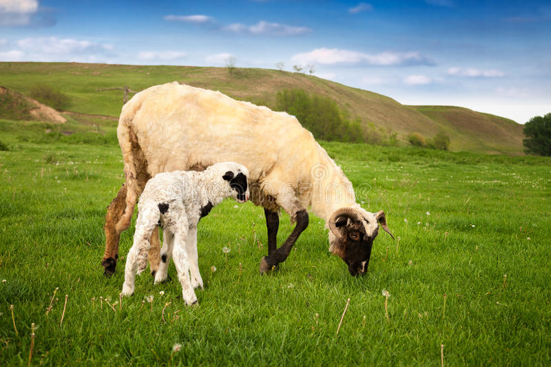 Little white lamb with mother grazing stock images