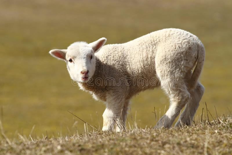 Download Lamb stock image. Image of offspring, affectionate, care - 30150885