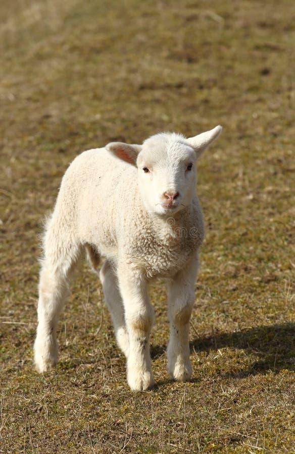 Download Little lamb stock photo. Image of innocent, adolescent - 30150974