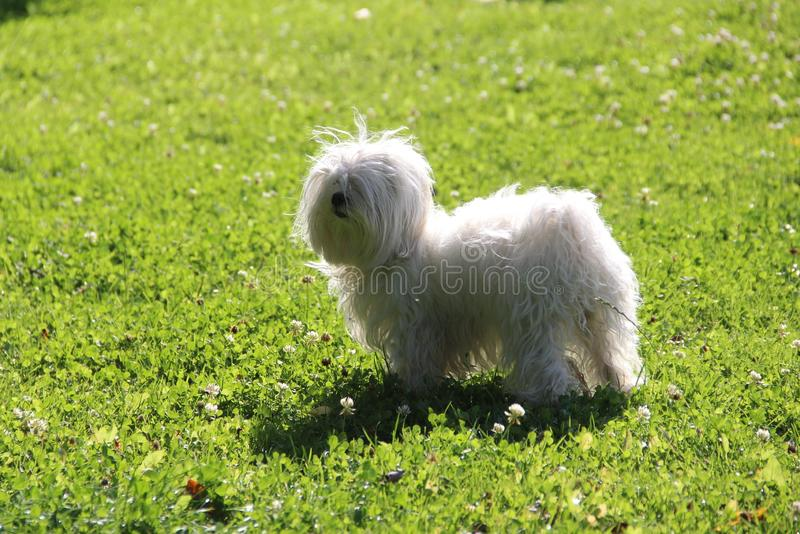 Little white lapdog on a green lawn on a summer afternoon. A little white lapdog on a green lawn on a summer afternoon royalty free stock images