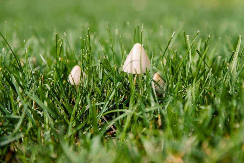 Little white mushrooms in grass stock photos