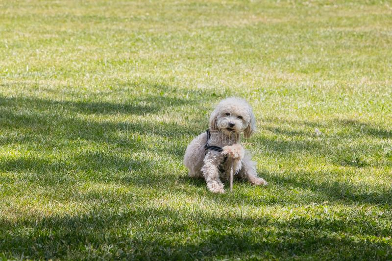 Little white poodle dog playing in the grass with a stick stock images