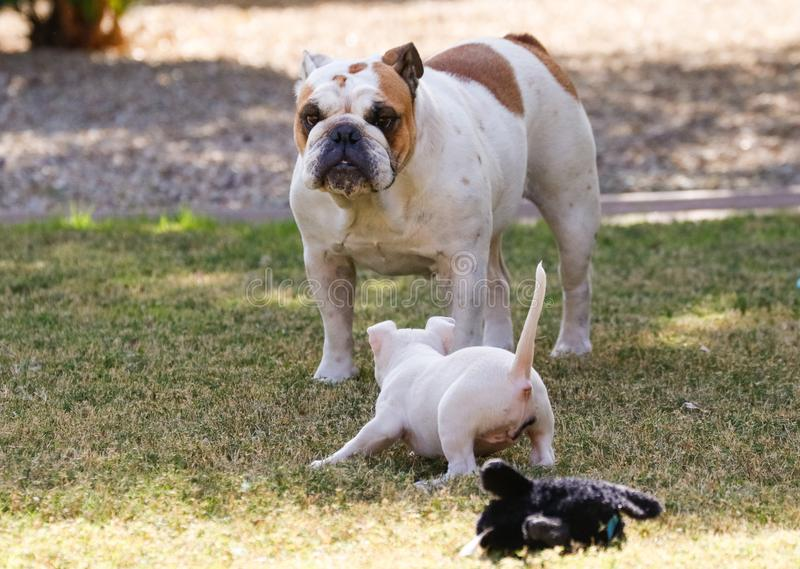 Little white puppy playing with a bulldog. Little white bull terrier puppy playing with a bulldog at the park royalty free stock photo