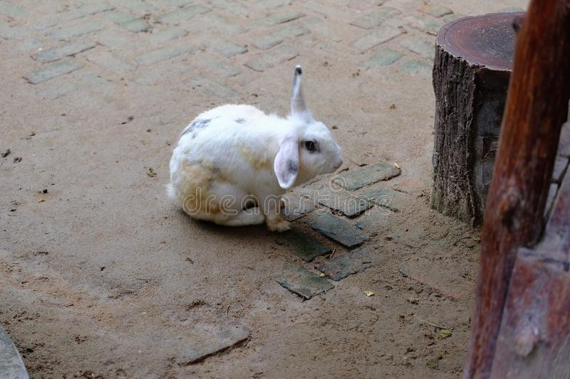 A little white rabbit pretends to have a deaf ear stock photos
