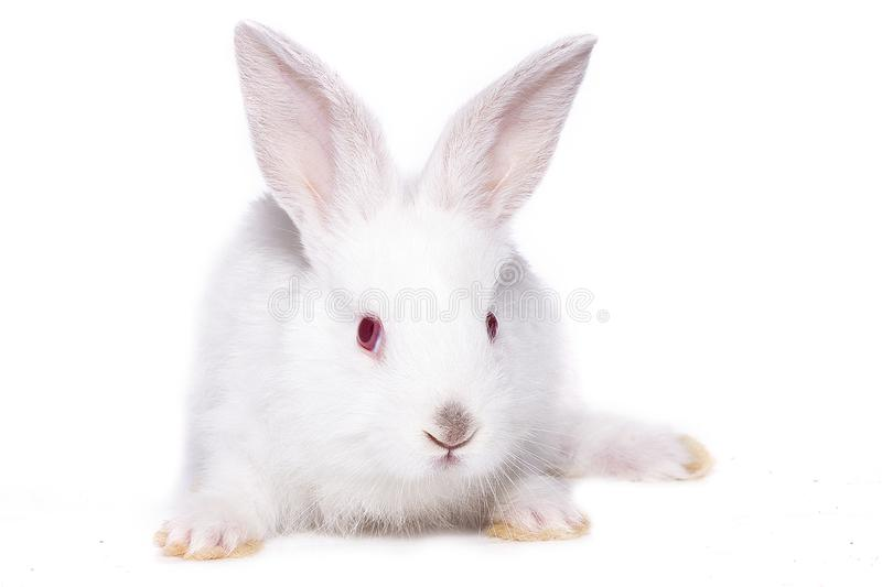 Little white rabbit with red eyes, isolate. Easter bunny royalty free stock images