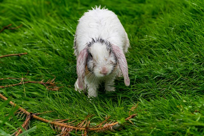 Little white rabbit after a thunderstorm royalty free stock image
