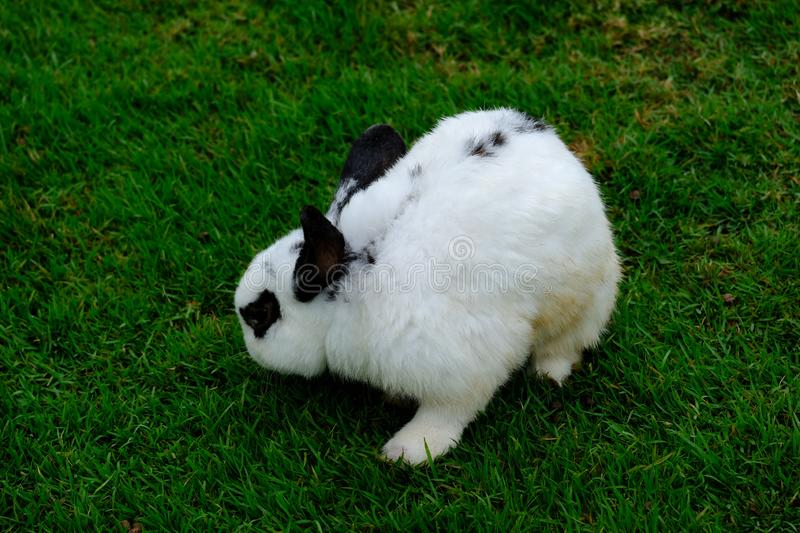 A little white rabit on green grass in a farm royalty free stock images
