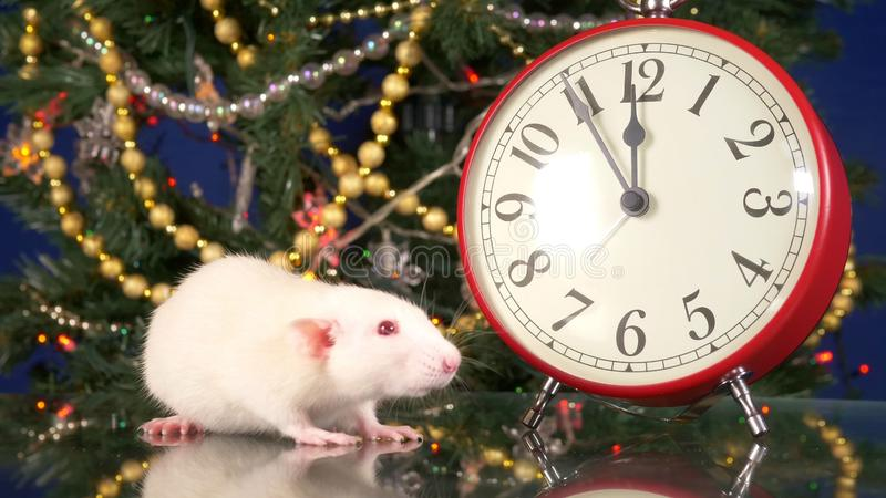 Little white rat near the clock on the background of the Christmas tree. five minutes to Rat`s New Year. Symbol of stock image