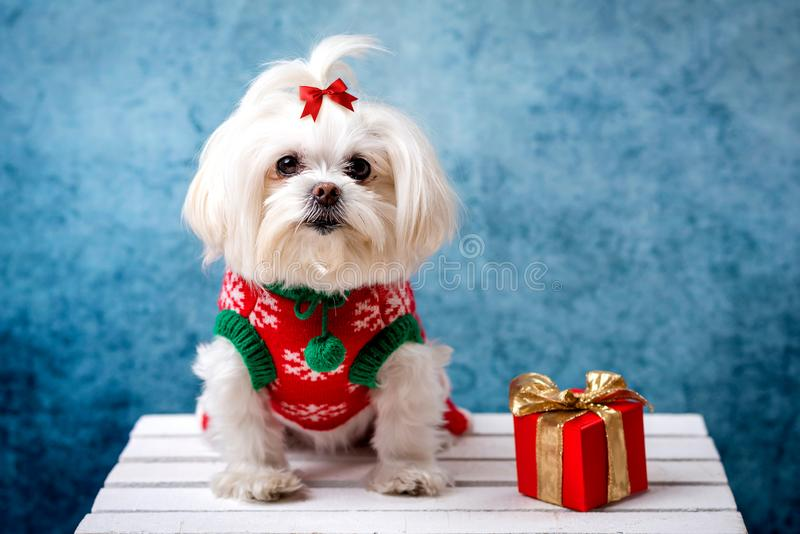 A little white shaggy dog. In a New Year`s suit is sitting. Nearby are boxes with a gift. blue background royalty free stock photography