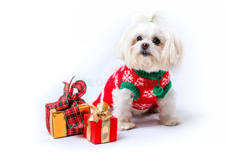 A little white shaggy dog. In a New Year`s suit is sitting. Nearby are boxes with a gift. White background royalty free stock photos