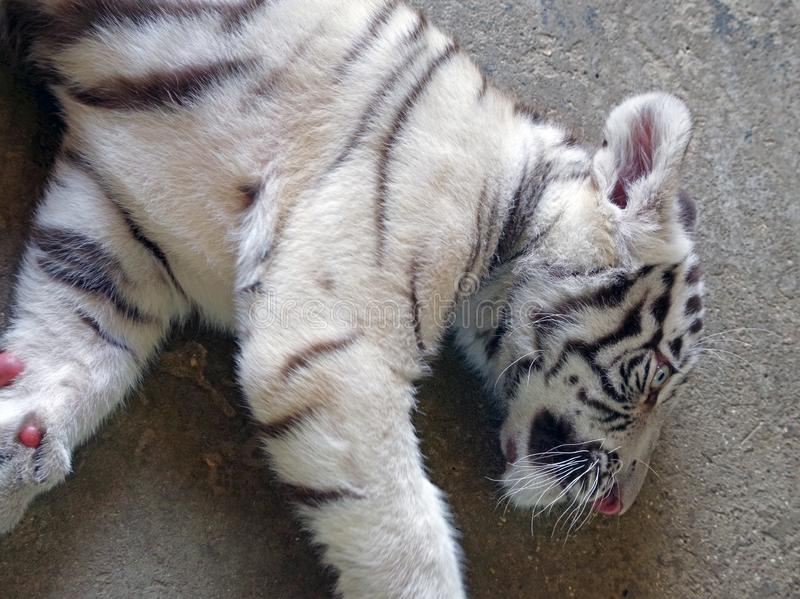 Little white tiger cub resting. On a hot day stock photo