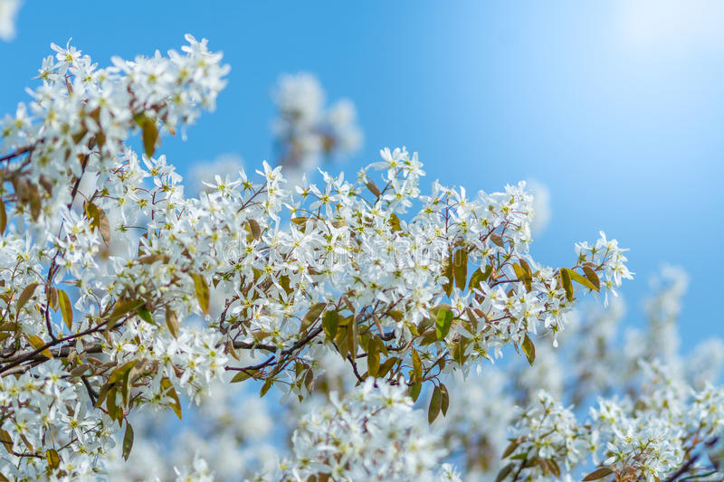 Little whits blossoms in front of blue sky. Lovely little white blossoms in front of blue sky - to use for illustration, greeting cards or background stock images