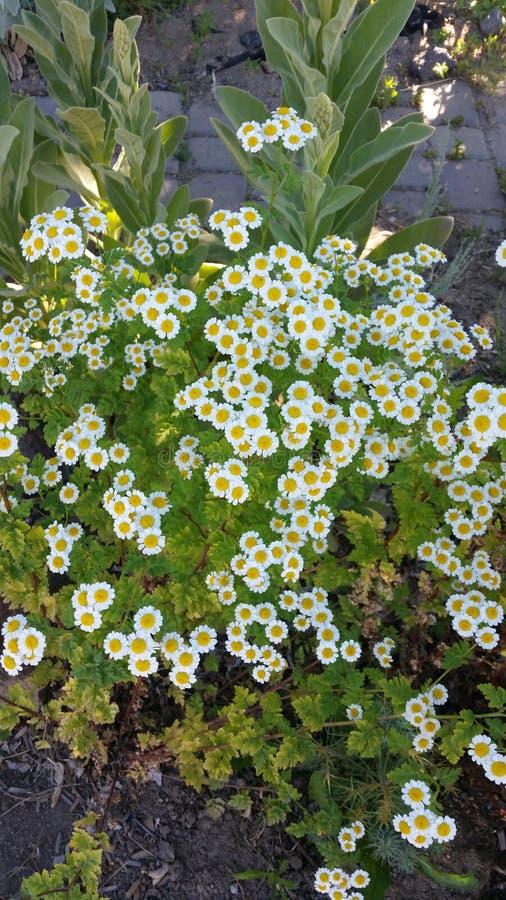 Little wild daisies stock image