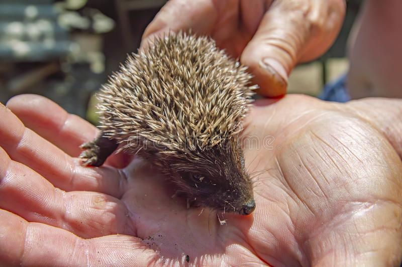 Little wild hedgehog in the hands of man royalty free stock images