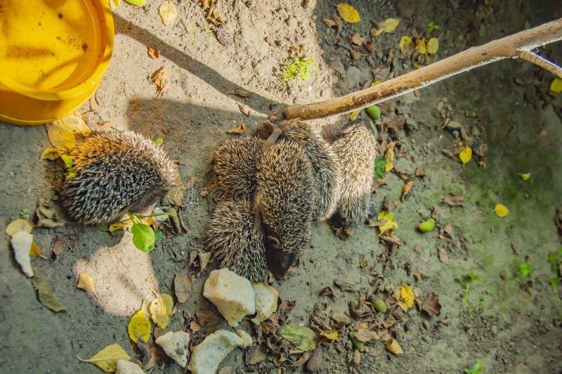 Little wild hedgehogs group on the ground. Wild animals stock photo