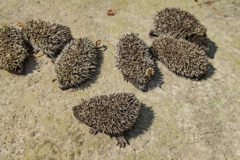 Little wild hedgehogs group on the ground. Wild animals stock images