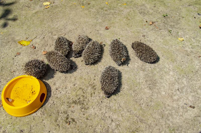 Little wild hedgehogs group on the ground. Wild animals stock photography