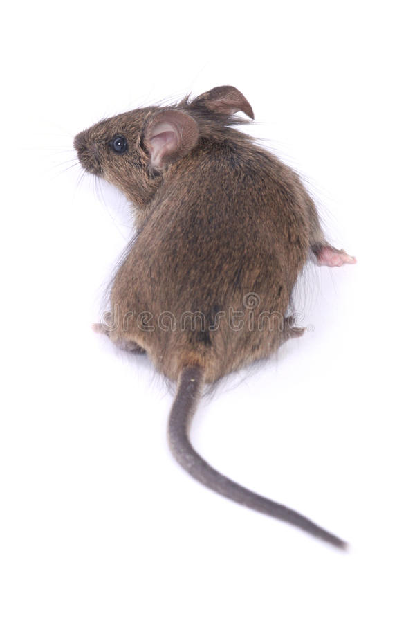 Little wild mouse royalty free stock image