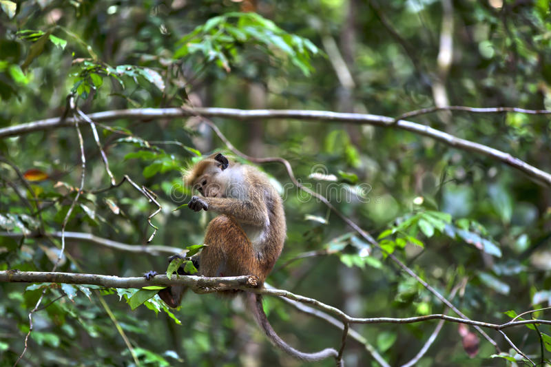 Little wilde green monkeys or guenons characterize the landscape of the rainforests. And the exotic nature on the tropical island Sri Lanka in the Indian Ocean stock image