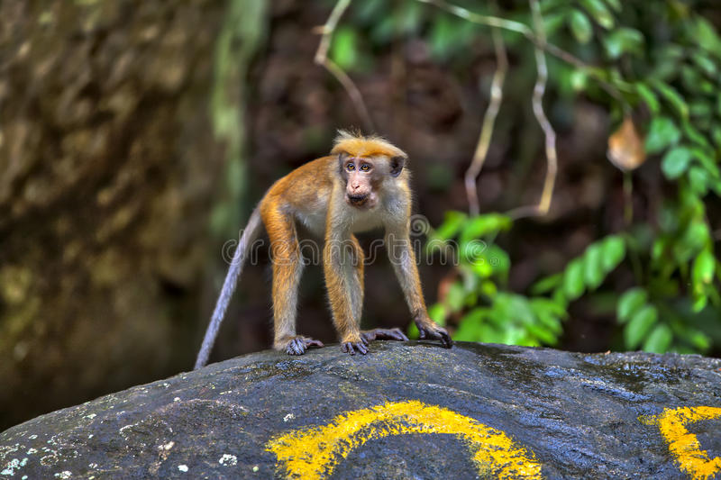 Little wilde green monkeys or guenons characterize the landscape of the rainforests. And the exotic nature on the tropical island Sri Lanka in the Indian Ocean royalty free stock image