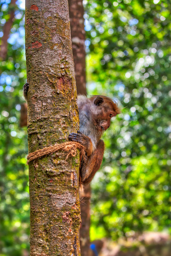 Little wilde green monkeys or guenons characterize the landscape of the rainforests. And the exotic nature on the tropical island Sri Lanka in the Indian Ocean stock photography