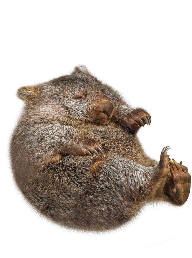 Free Little Wombat Australia Royalty Free Stock Images - 53143049