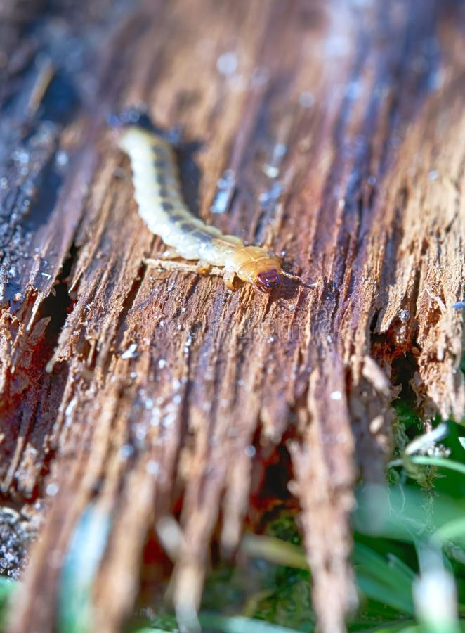 Little woodworm. Lies on tree stock photography