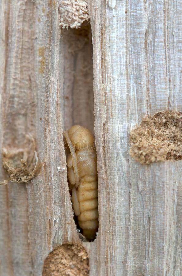 Little woodworm. Lies on tree royalty free stock photos