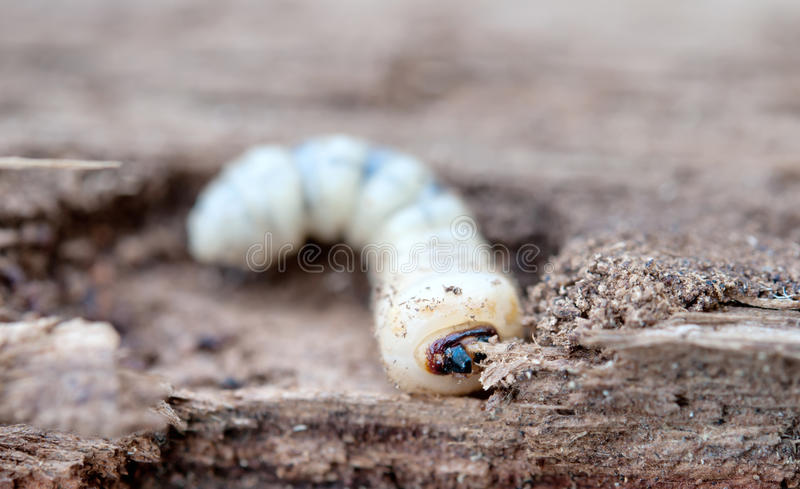 Little woodworm. Lies on tree royalty free stock images