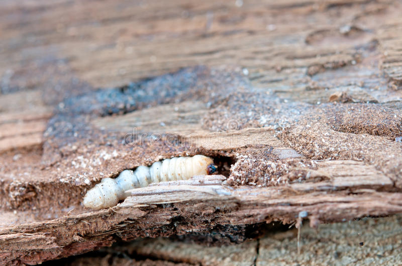 Little woodworm. Lies on tree royalty free stock image
