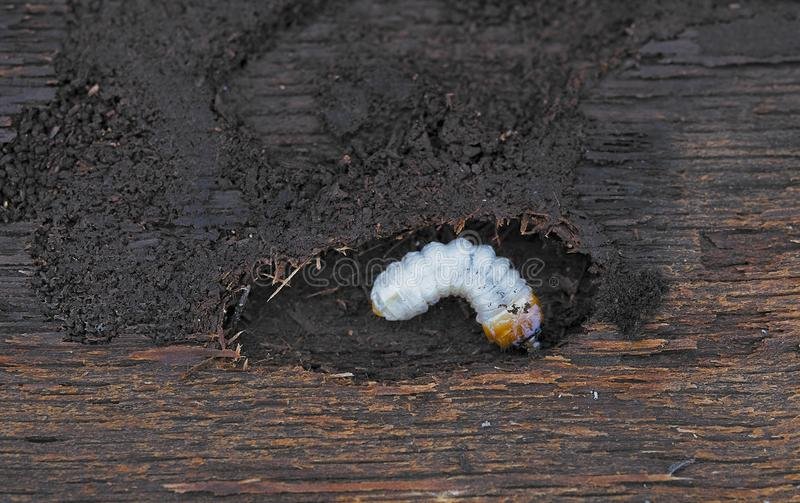 Little woodworm. Lies on tree. Aclose up stock photography