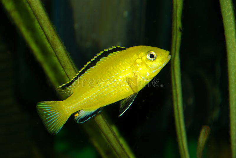 Little yellow african Cichlid stock photos