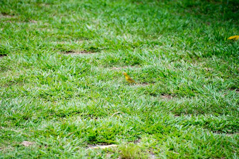 The little yellow bird holding branch with the beak. On the grass stock photography