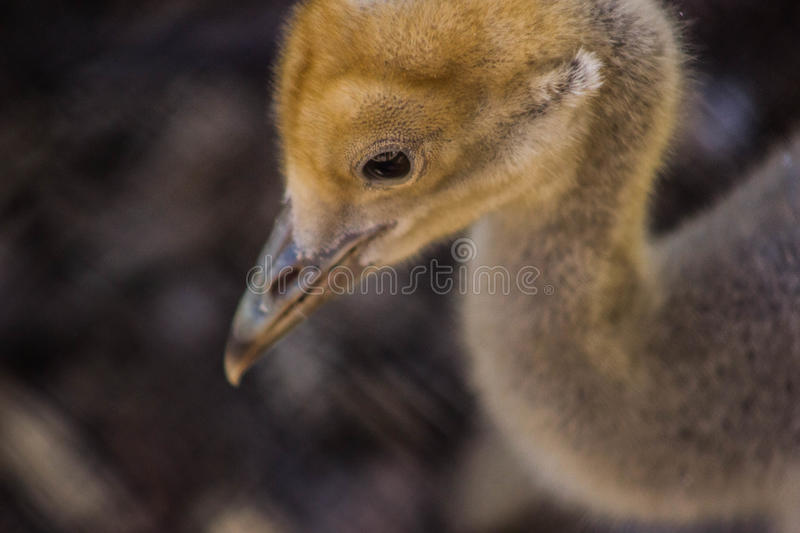 Little yellow chick. Macro of a cute little sad looking yellow chick royalty free stock photography