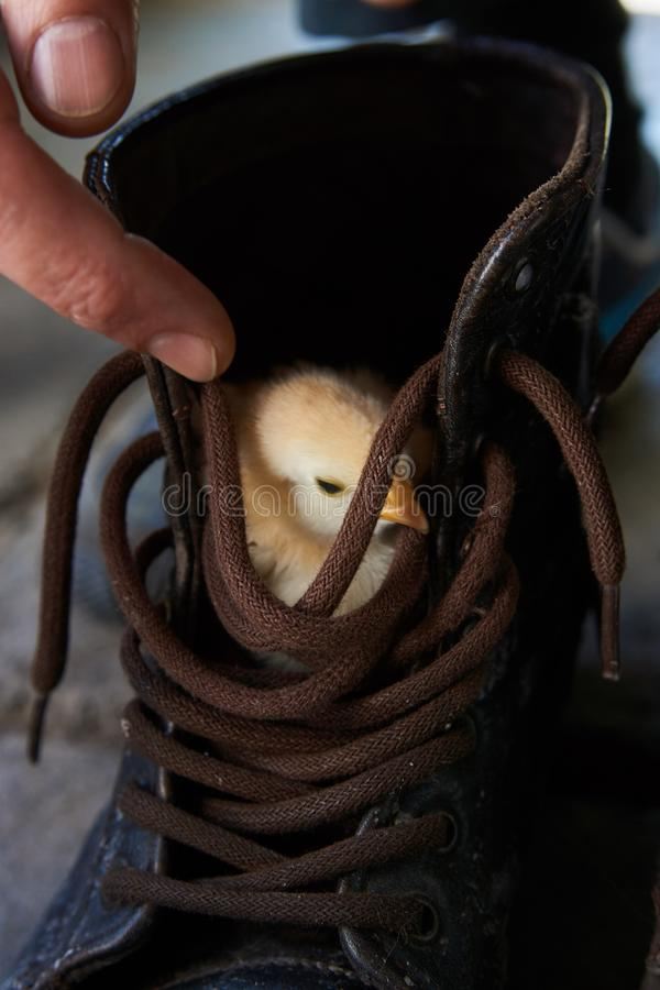 Little yellow chick in sitting in brown boot, close-up. Little yellow chick in sitting in brown boot. Cute chicken broiler hid in the boot, close-up stock photos