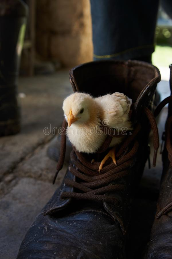 Little yellow chick in sitting in brown boot, close-up. Little yellow chick in sitting in brown boot. Cute chicken broiler hid in the boot, close-up royalty free stock photo