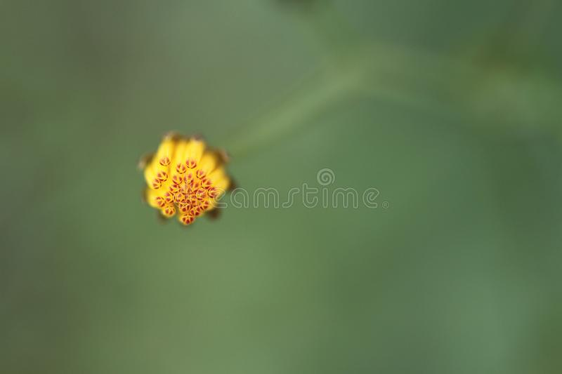 Little yellow flower bud royalty free stock images