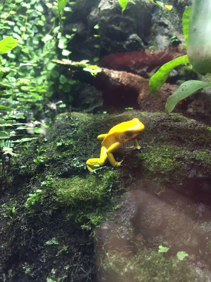 Little yellow frog stock photos