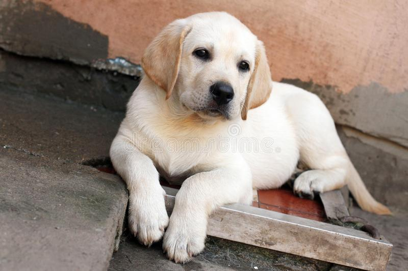 The little labrador puppy in the yard stock photography