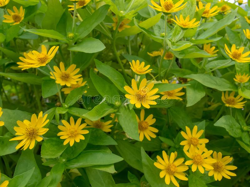 Little yellow star flowers on green leafs background. stock photo