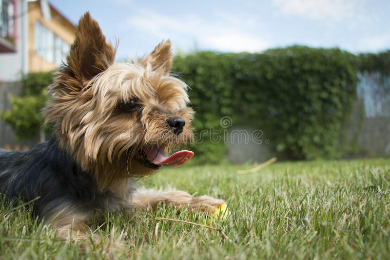 Little yorkshire dog laying on the grass looking in the distance, detail royalty free stock photo
