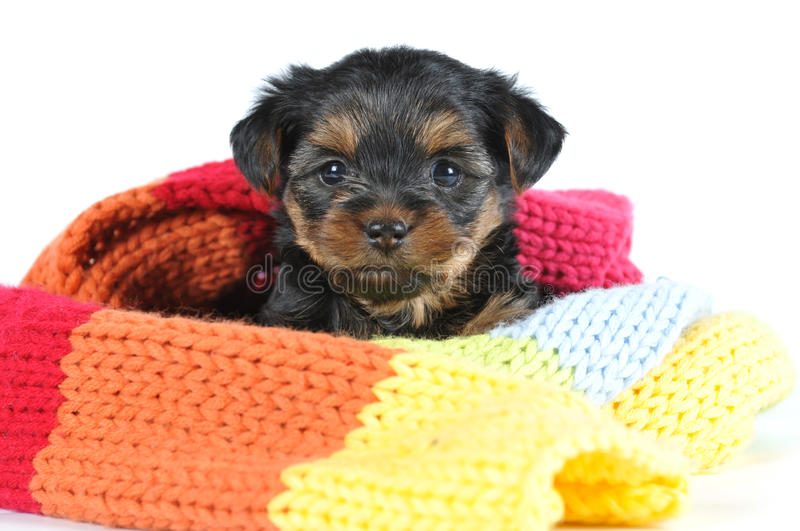 Little yorkshire puppy in scarf. Looking at camera stock photography
