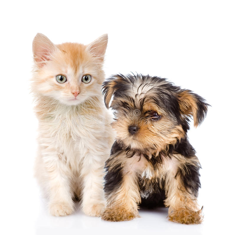 Little Yorkshire Terrier and kitten. on white. Background royalty free stock photography