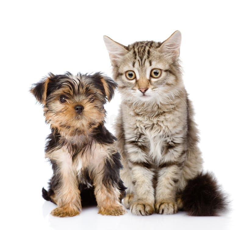 Little Yorkshire Terrier and tabby kitten. stock photos